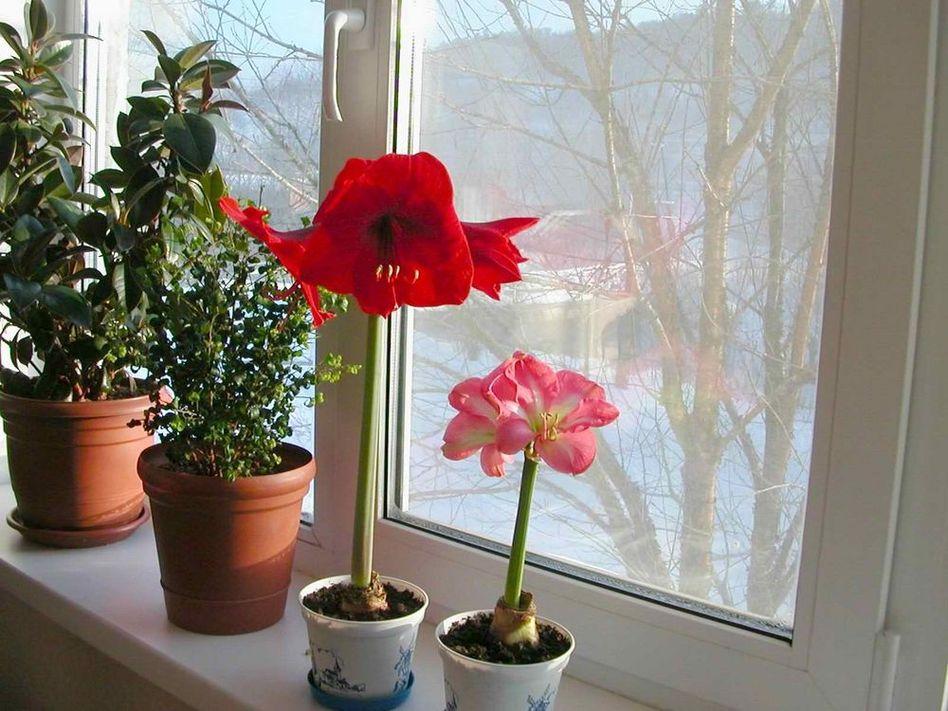 Мои цветы на работе. Нравится? Особенно если видите снег за окном....