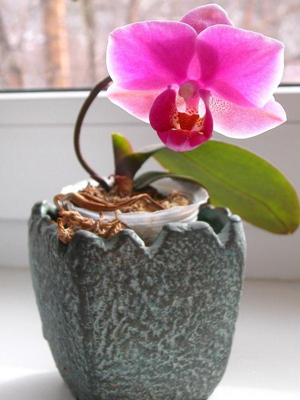 у меня зацвела......орхидея!!!!!!