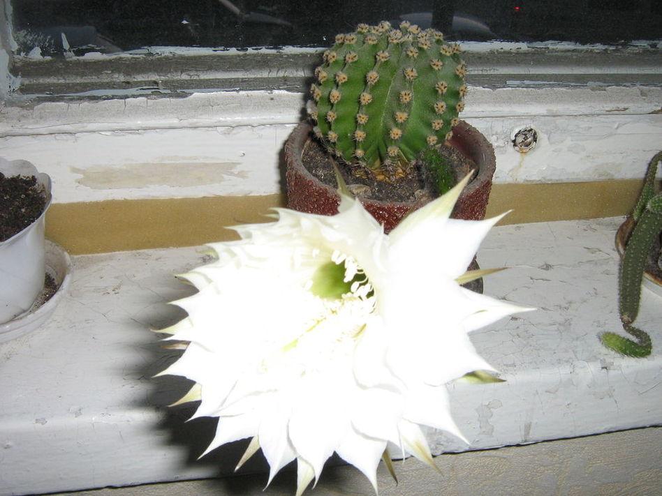 Сколько цветет кактус в домашних условиях 325