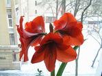 цветут цветы среди зимы 25.01.06