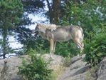 В зоопарке. Волк на скале.