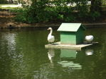 Лебедь Боря, живущий в парке Горького.