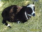Маленькая такая овечка.