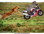 зебра круче всех