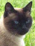 кот Симон