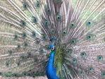 Павлин в Батумском зоопарке (как же долго я его караулила)